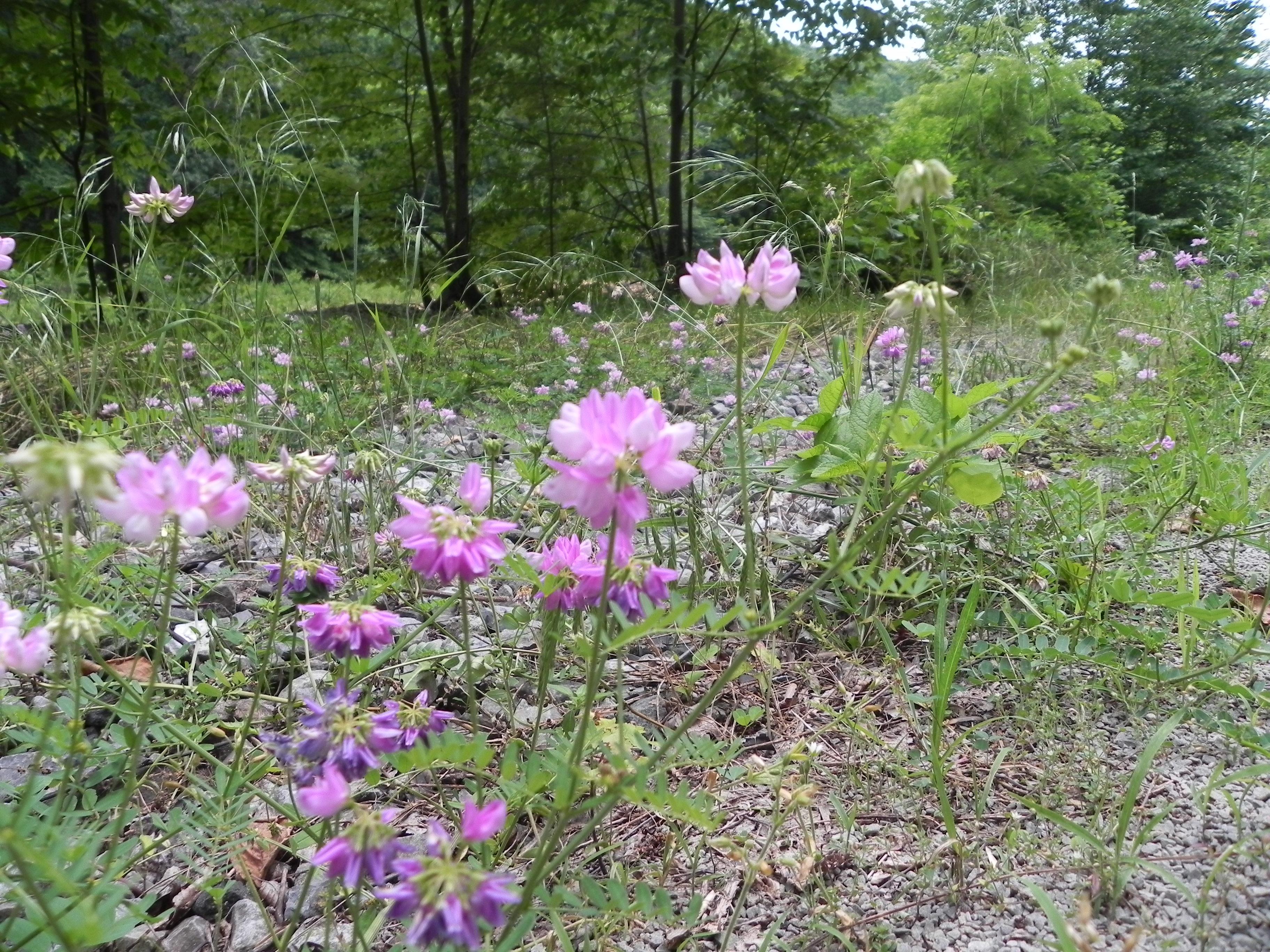 Wildflower crown vetch coronilla varia ghost town trail crown vetch coronilla varia izmirmasajfo