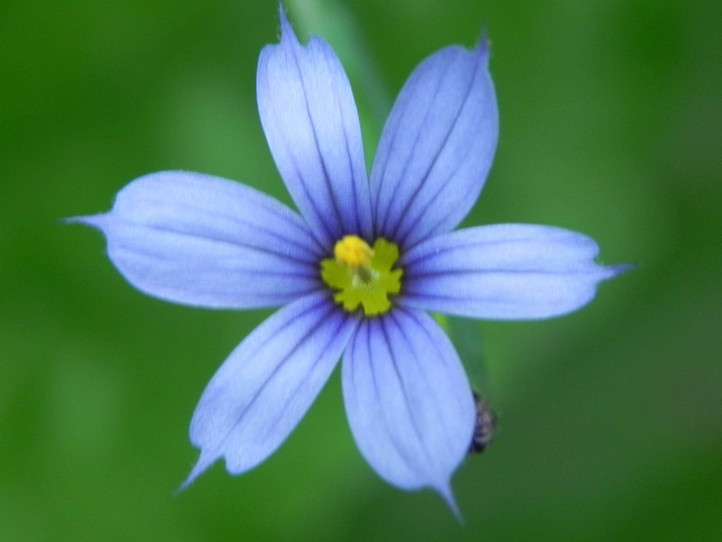 Wildflower Blue Eyed Grass Sisyrinchium angustifolium Kane Woods