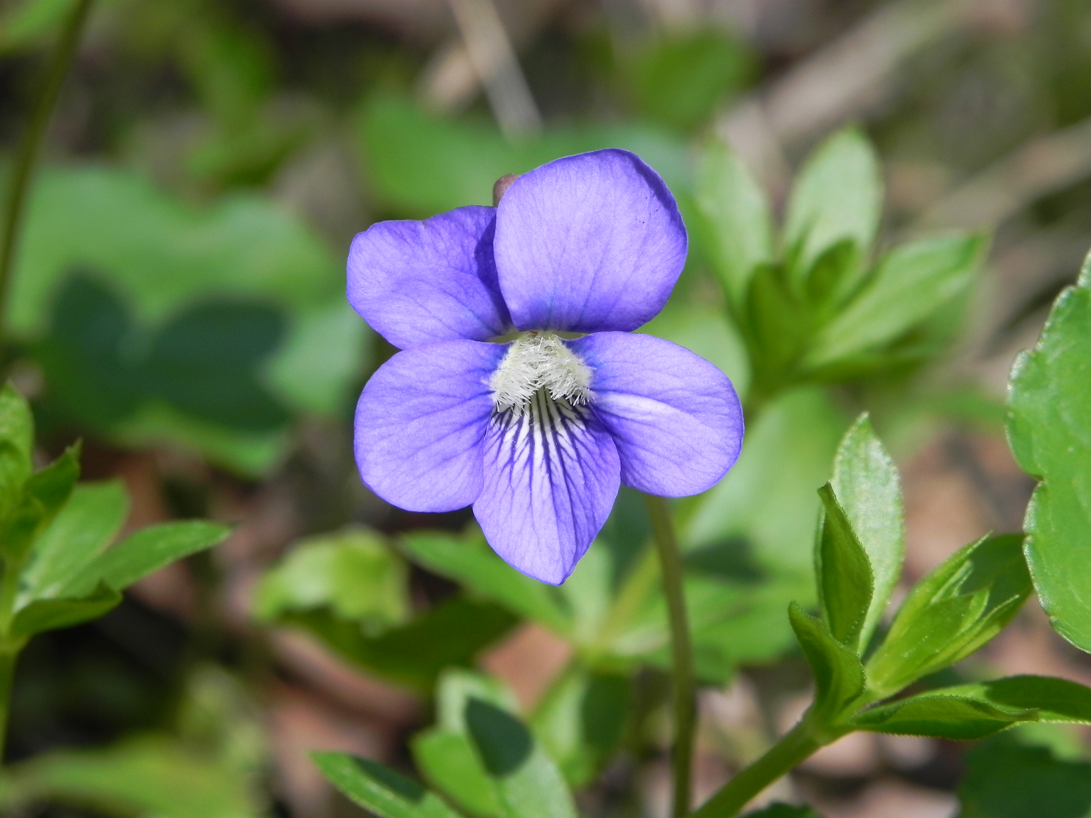 wildflower  common blue violet  viola papilioinacea