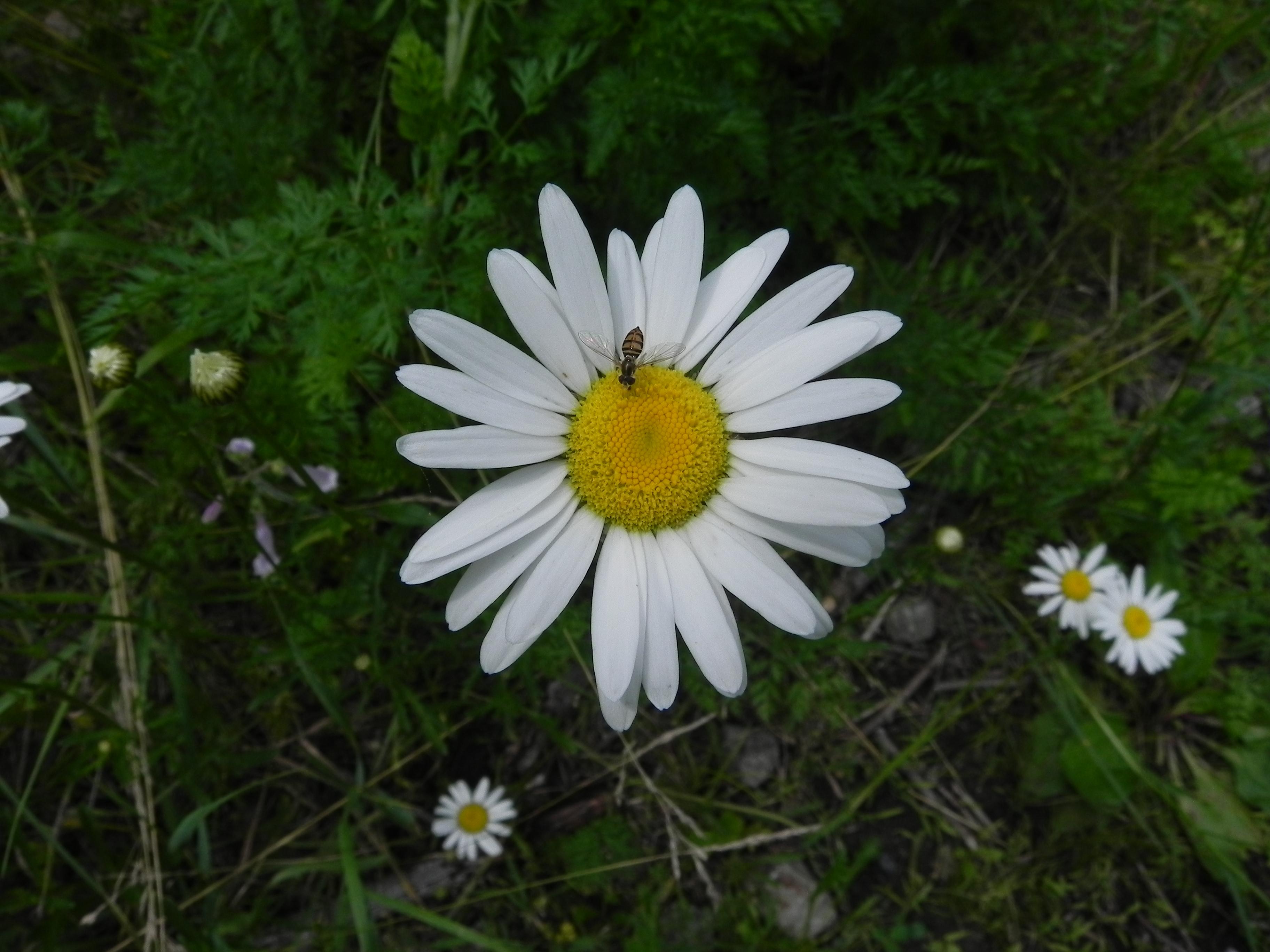 Wildflower oxeye daisy chrysanthemum leucanthemum allegheny oxeye daisy chrysanthemum leucanthemum izmirmasajfo