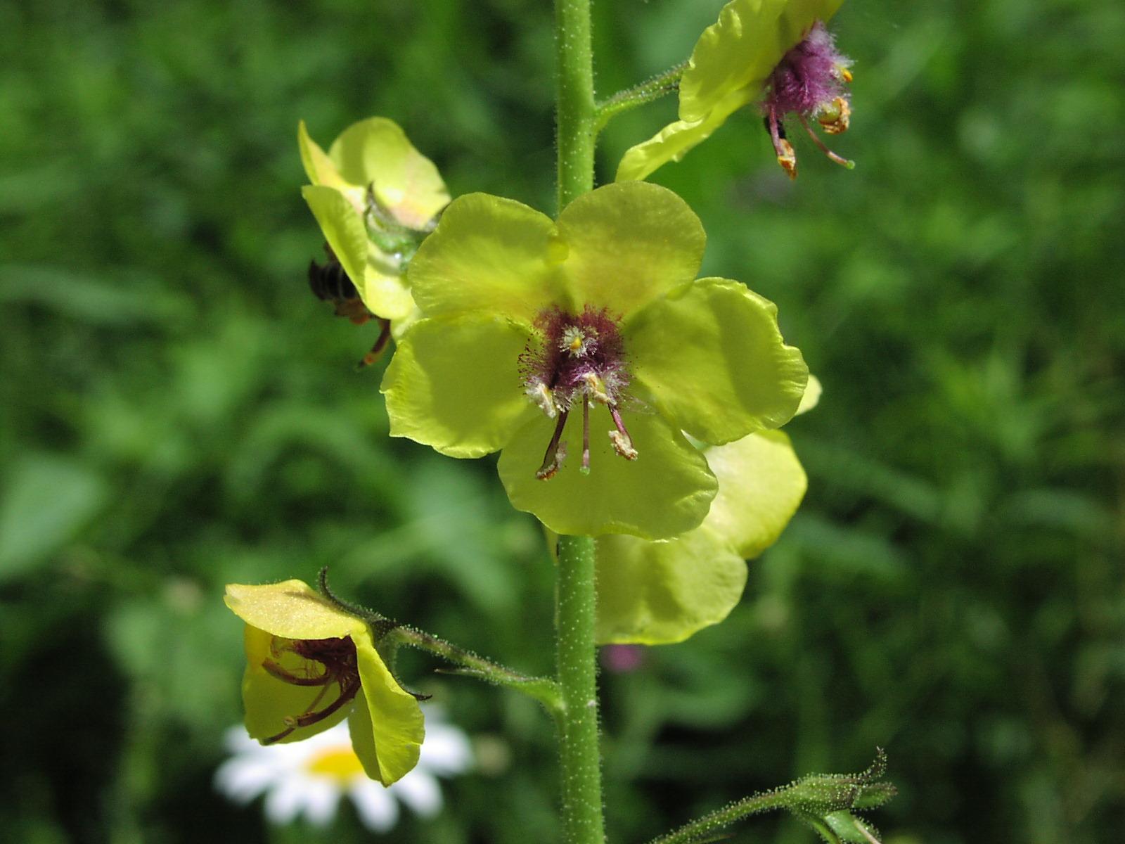 Home flower garden - Wildflower Moth Mullein Verbascum Blattaria L