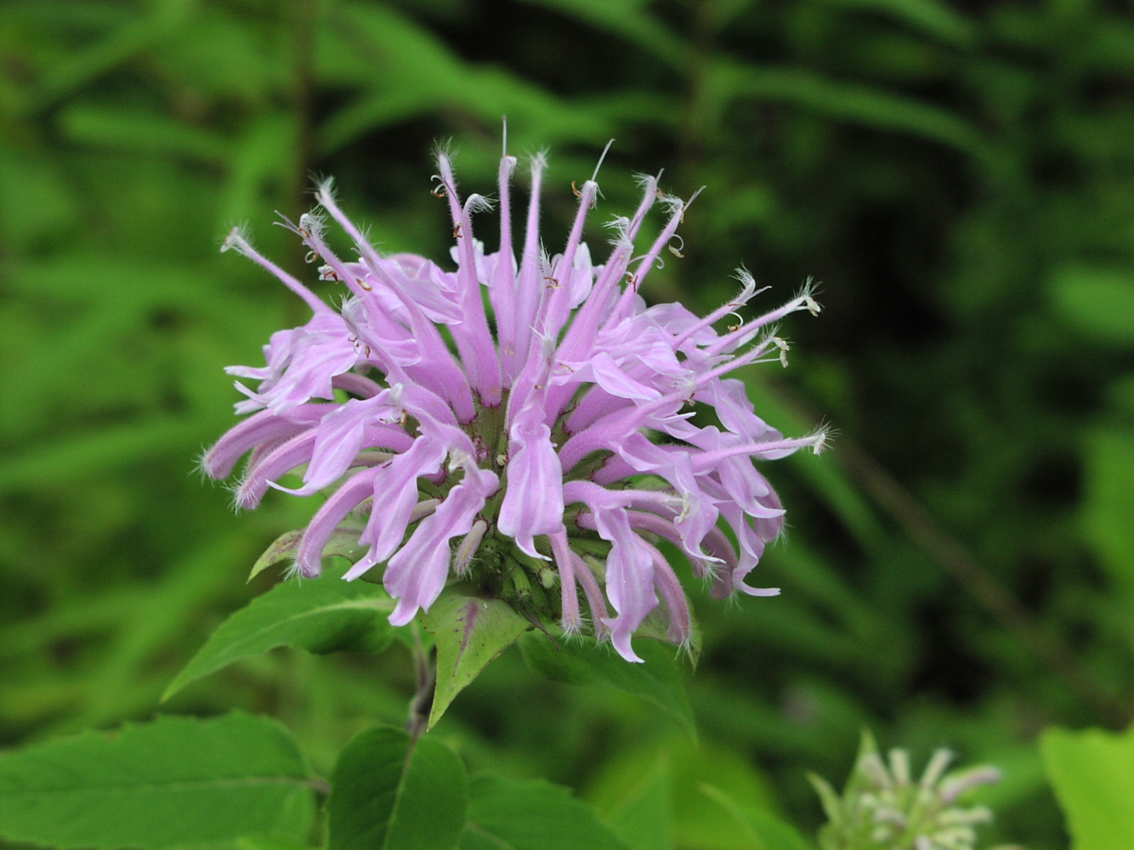 Wildflower: Wild Bergamot (Monarda fistulosa), Montour Trail
