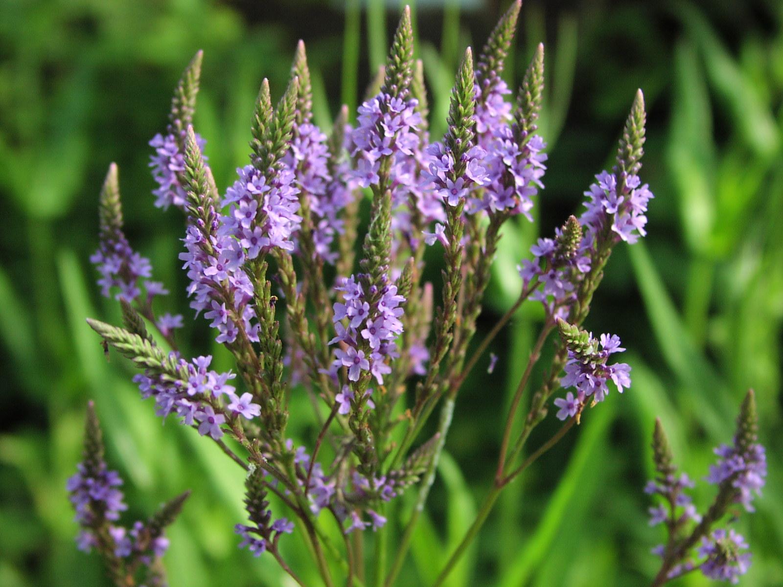 Wildflower Blue Vervain Verbena hastata Samuel Justice Trail