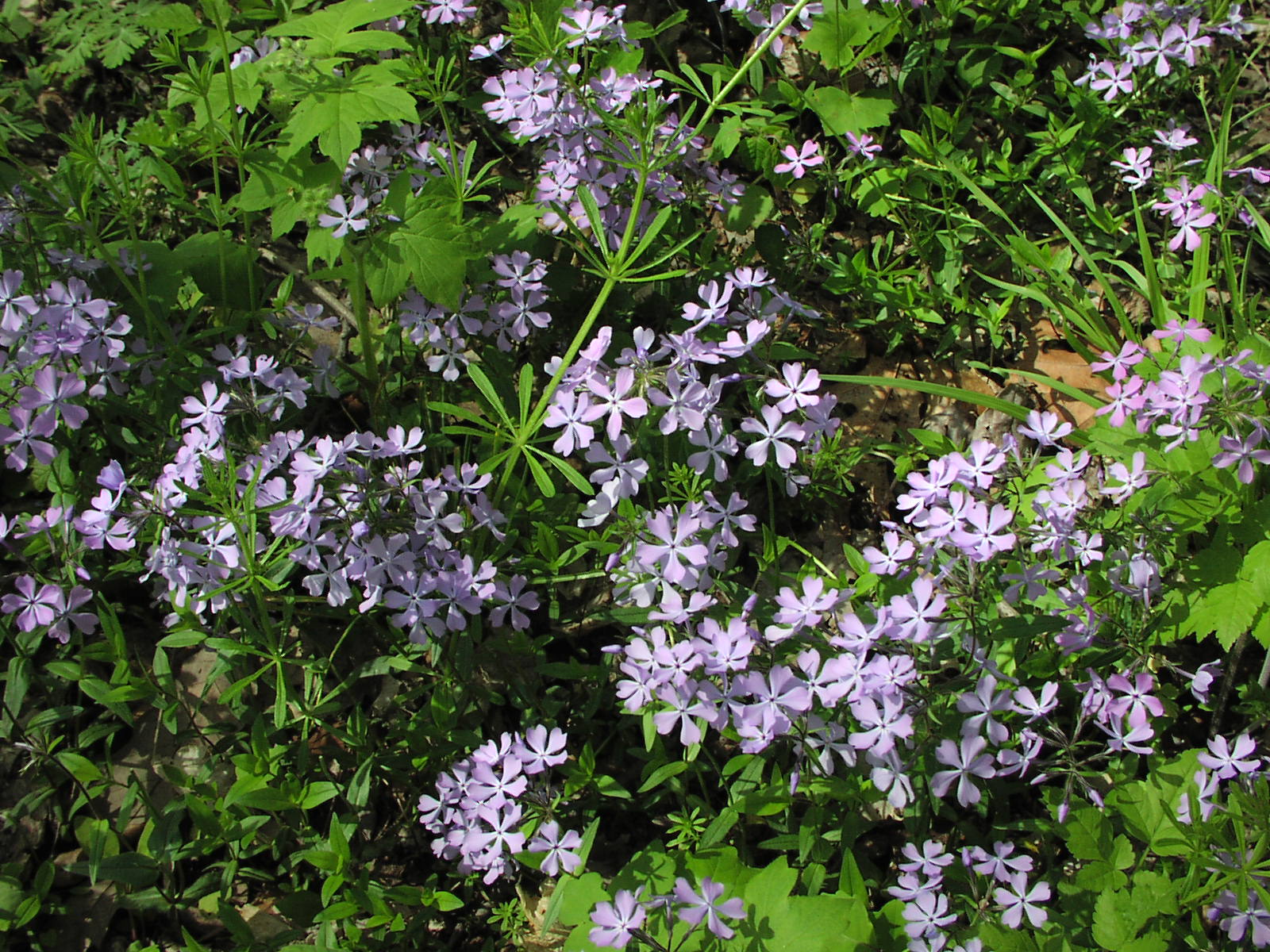 wildflower wild blue phlox phlox divaricata youghiogheny river trail. Black Bedroom Furniture Sets. Home Design Ideas