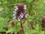 Heal-all (Prunella vulgaris), flower