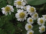 Feverfew (Chrysanthemum parthenium), flower