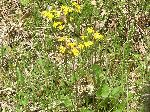 Golden Ragwort (Senecio aureus), tech