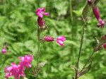 Red Campion (Silene dioica), tech