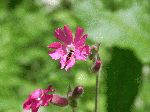 Red Campion (Silene dioica), flower