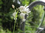 Bladder Campion (Silene vulgaris), flower