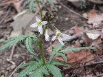 Cut-Leaved Toothwort (Dentaria laciniata), flower
