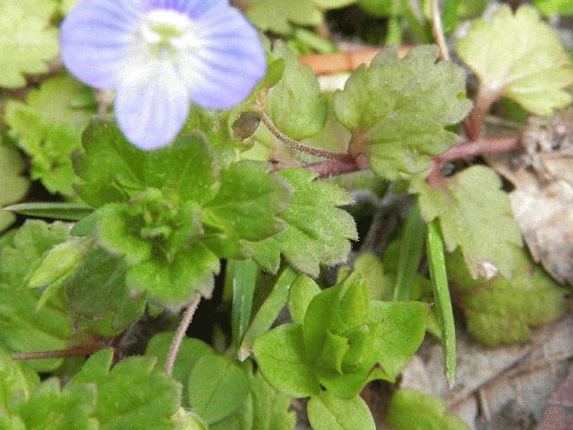 Persian Speedwell (Veronica persica)