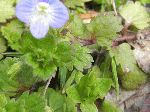Persian Speedwell (Veronica persica), leaf