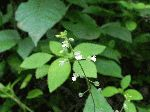 Enchanter's Nightshade (Circaea quadrisulcata), flower