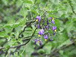 Deadly Nightshade (Solanum dulcamara), flower
