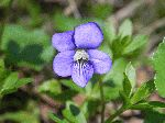Common Blue Violet (Viola papilioinacea), flower
