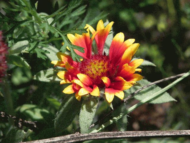 Great Blanket Flower (Gaillardia aristata)
