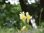Butter and Eggs (Linaria vulgaris), flower