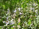Common Speedwell