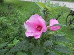 Crimson-Eyed Rose-Mallow (Hibiscus moscheutos), flower