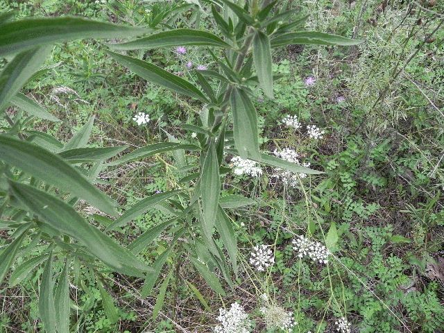 White Thoroughwort (Eupatorium album)