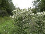 White Thoroughwort (Eupatorium album), flower