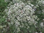 White Thoroughwort