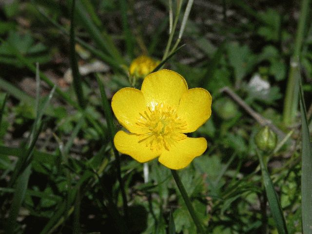 Common Buttercup (Ranunculus acris)