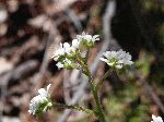 Early Saxifrage (Saxifraga virginiensis), tech