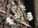 Early Saxifrage (Saxifraga virginiensis), flower