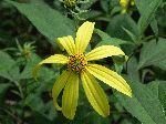 Pale-Leaved Sunflower (Helianthus strumosus), flower