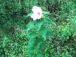 Crimson-Eyed Rose-Mallow (Hibiscus moscheutos), tech