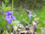 Marsh Blue Violet (Viola cucullata), tech