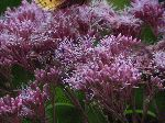Spotted Joe-Pye Weed (Eupatorium maculatum), flower