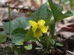 Downy Yellow Violet (Viola pubescens), flower