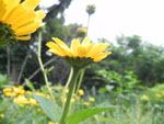 Oxeye (Heliopsis helianthoides), tech