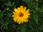 Oxeye (Heliopsis helianthoides), flower