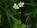 Thimble weed (Anemone virginiana), flower