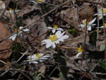 Bloodroot (Sanguinaria canadensis), flower