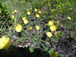 Mouse-Ear Hawkweed (Hieracium pilosella), tech