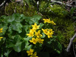 Marsh Marigold (Caltha palustris), flower