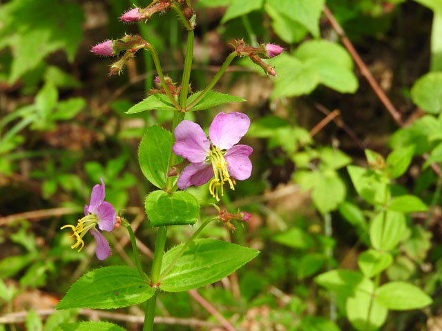 Virginia Meadow Beauty (Rhexia virginica)