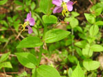 Virginia Meadow Beauty (Rhexia virginica), leaf
