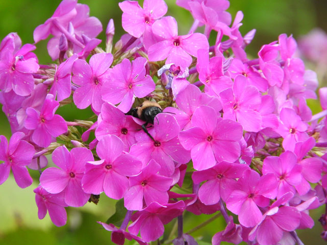Wild Sweet William (Phlox maculata)