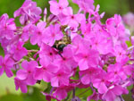 Wild Sweet William (Phlox maculata), flower