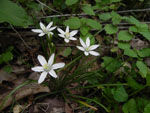 Star of Bethlehem (Ornithogalum umbellatum), tech