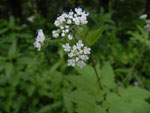 Sweet Cicely (Osmorhiza clayton), flower
