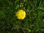 Common Buttercup (Ranunculus acris), flower