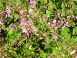 Hoary Tick-Trefoil (Desmodium canescens), tech