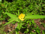 Seedbox (Ludwigia alternifolia), flower
